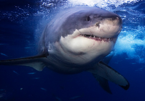 0cf2ed3c0354 Only four out of over 360 shark species have been involved in a significant  number of unprovoked shark attacks  the great white