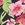 Hibiscus Black